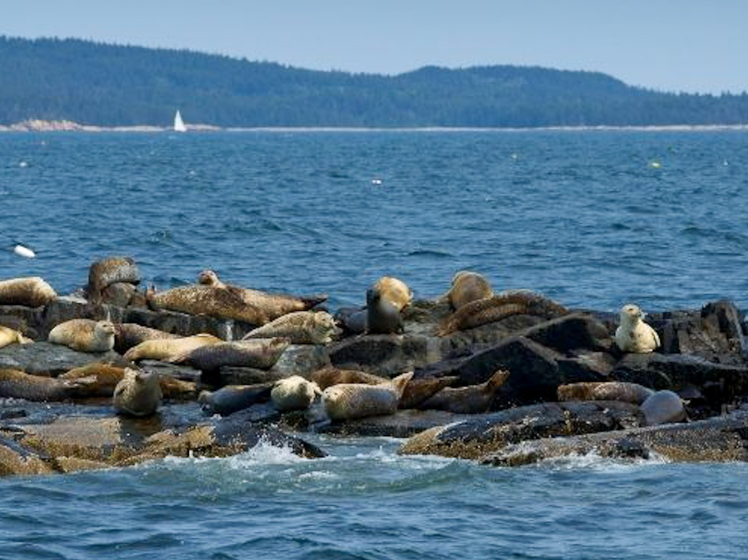 Seals viewed from sailing tours in Mahone Bay, Nova Scotia